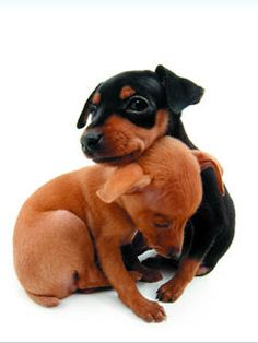 Miniature Pinschers, gonna be Cody and I's first doggie :)