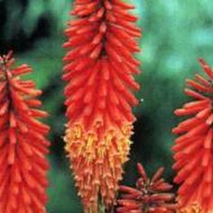 6 x Kniphofia 'Alcazar' - Vuurpijl Pot Flowers, Plants, Outdoors, Plant, Outdoor Rooms, Royal Icing Flowers, Off Grid, Flower, Outdoor
