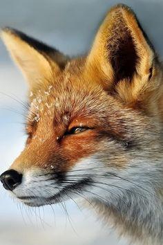 Red Fox by Foto Foosa - Marcel Bressers on 500px