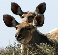 """""""Curious Kudu in the West Coast National Park, South Africa"""" By Sue Wiederkehr"""