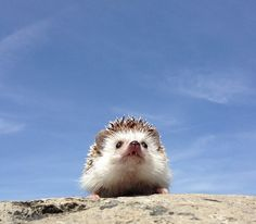 The Many Adventures of Biddy the Hedgehog Related: The Many Expressions of Marutaro the Hedgehog