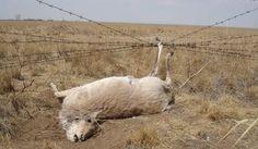 Gacela de Mongolia atrapada en la alambrada que recorre toda la frontera entre Rusia y Mongolia.