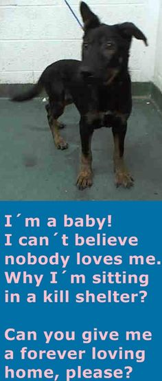 ACE - ID#A1703508 I am an unaltered male, black and brown German Shepherd Dog. The shelter staff think I am about 5 months old I have been at the shelter since Jun 07, 2015. — Miami Dade https://www.facebook.com/urgentdogsofmiami/photos/pb.191859757515102.-2207520000.1434305498./989375081096895/?type=3&theater