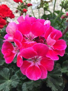 Geranio #pink #fiori