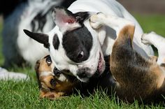 4 Tips to Control your Dog's Aggression Towards Other Dogs - Dog Training Advice Tips Socializing Dogs, Puppy Play, Aggressive Dog, French Bulldog Puppies, France, Dog Park, Happy Dogs, Dog Friends, Dog Training