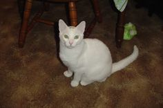 """Rescued a Kitty from the Local Shelter.  """"Marble"""" our deaf white Kitty.  RIP :("""