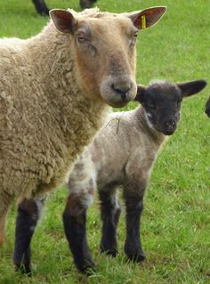 Mother And Child...Baa !!...Holyhead,  North Wales by PrestonWalesUK, via Flickr