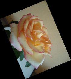 Rosa que ganhei. Foto minha. 2014.