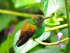 Copper-rumped Hummingbird - Venezuela, Trinidad and Tobago