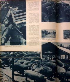 En esta página se aprecia un bañadero cubierto; la salida de cerdos al escurridero, después del baño de inmersión; reparos para cerdas y lechonas, con el fin de evitarles la acción de los rayos solares. Fuente: Revista M.A.N. de septiembre/octubre de 1941