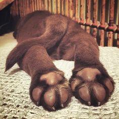 puppy feet #Labrador #labradorretriever