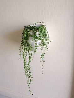 string of pearls succulent in a wall pot (ikea asker container?)