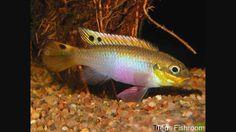 pelvicachromis moliwe
