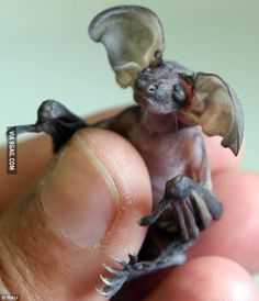 This is a Baby Goblin bat, native to Cuba. I think it's adorable!