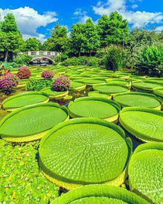 Victorias cruzianas Parque aquático Mizu no Mori Cidade de Kusatsu - Japão É uma espécie tropical de floração, da família Nymphaeaceae. A planta é uma popular planta de jardim aquático em jardins botânicos, onde suas folhas muito grandes podem chegar até 2 m de largura com uma espessura de até 20 cm de altura.