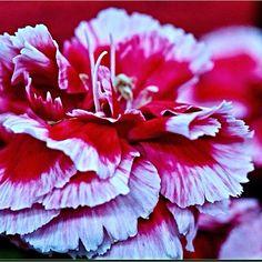 Florigene Carnation