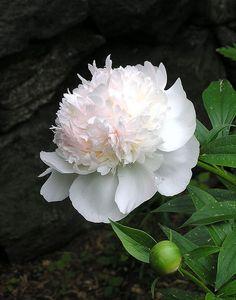 New Ideas For Flowers Peonies Garden Flora Amazing Flowers, White Flowers, Beautiful Flowers, Beautiful Gorgeous, White Peonies, Colorful Roses, Flowers Uk, Silk Peonies, Purple Tulips