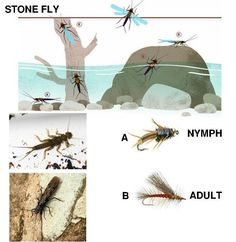 Life of a Stonefly