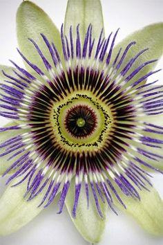 Beautiful Passion Flower