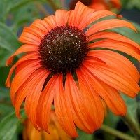 Beautiful bold orange blooms will put on a prominent display in your garden. Holds its color very well, has wide overlapping petals, and produces a lovely honey scent. - Online and Retail Garden Center in Zeeland - Michigan