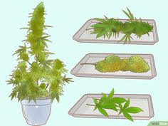 How to Trim Marijuana. Marijuana plants must be well cared-for and carefully harvested. Wear gloves and choose the time you trim your plants carefully. Trim the top off your plant to allow the leaves to get more light. Hydroponic Gardening, Hydroponics, Cannabis Growing, Growing Weed, Cannabis Oil, Marijuana Plants, Yellow Leaves, Small Gardens, Medical Marijuana