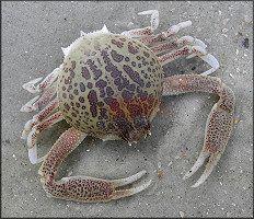 Persephona mediterranea Mottled Purse Crab