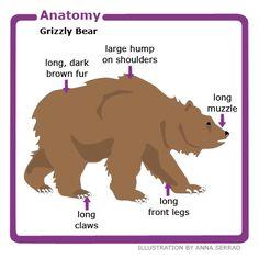 Polar Bear Body Parts Diagram Brown Bear Facts, Grizzly Bear Facts, Grizzly Bear Habitat, Brown Bears, Grizzly Bears, Polar Bear, Preschool Art Projects, Preschool Lessons, Teaching Kindergarten