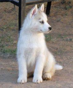 Timber the Siberian Husky