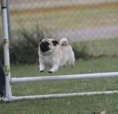 Pug on agility course ;-)