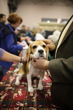 "Show Beagle.""Jeez,why do I have to go through this !""said a Mini-Beagle."