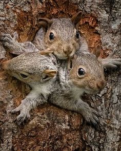 Photographer Rick Tomalty said: 'I had to wait for hours to get the right photographs. I noticed two of the baby squirrels resting on top of one another as they peered out of the hole. I couldn't believe it when a third squirrel arrived and squeezed in next to the other two.'