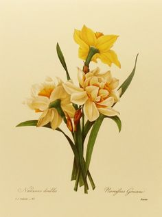 "Botanical Illustration ""Daffodil"" Print (Country Cottage Art, Spring Home Decor)…"