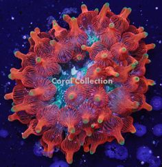 The Coral Collection Glowstick Bubble Tip Anemone (Entacmaea Quadricolor) another exotic rare color morph of BTA! It has a neon green body with glo. Nano Reef Tank, Reef Tanks, Bubble Tip Anemone, Saltwater Fish Tanks, Saltwater Aquarium, Green Bodies, Rainbow Roses, Reef Aquarium, Soft Corals