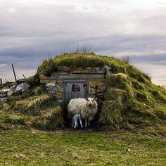 Sheep, Røst Norway