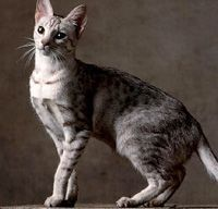 The Ocicat Cat Breed: Ocicats may look wild, but they are actually affectionate, curious, and playful, and possess a very strong devotion to their human companions. Exotic Cat Breeds, Rare Cat Breeds, Rare Cats, Kittens Cutest, Cats And Kittens, Different Breeds Of Cats, Purebred Cats, Ocicat, American Shorthair