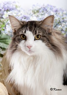 Norwegian Forest Cat. Wow! this is the largest domestic meow.  .  .2nd is the Maine Coon