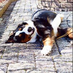 学校が休みなのか 福は内ー鬼は外キャーーって声が聞こえてきます笑  暑い 暑い #23日はブサ顔の日 久しぶりー .  #berner #bernese #bernesemountaindog #berneroftheday #bernesedaily #dog #dog_features #dailydog#dogofinstagram #bigdog#instadog#instadogbreeds#excellent_dogs #lacyandpaws #poshpamperedpets #バニ部#バーニーズマウンテンドッグ#LANDA . by dossowl