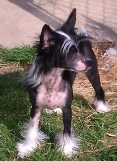 chinese crested puppies sale,