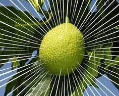 The underrated breadfruit holds big promise for independent farmers and small business owners in the Caribbean