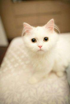 Beautiful white cat 😘❤❤