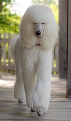 White standard poodle More ==>http://www.amazingdogtales.com/gifts-for-poodles-lovers/ #poodles