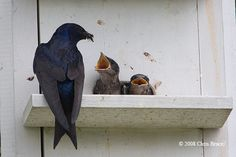 pictures of purple martin birds - Bing Images... They have been flashing their purple backs.... To see them was an answered thought/prayer... God is so creative.