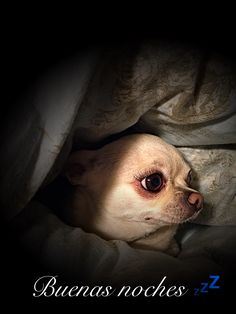 Cute Chihuahua, Chihuahua Puppies, Bestest Friend, Mans Best Friend, Chiwawa, Puppies And Kitties, Little Dogs, Bambi, Dog Pictures