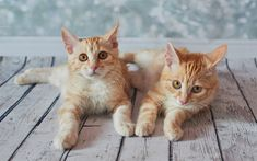 The american bobtail cat has a unique yet wild appearance that makes it super desirable among families. Find out more information about american bobtail. American Curl, Gato Bobtail, Curl Americano, American Bobtail Cat, Ginger Cats, Animal Wallpaper, Domestic Cat, Cats And Kittens, Kitty Cats