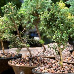 ¿Sabías que los Bonsai, aunque parezcan árboles  de interior, en realidad son de exterior?  ¡Le darán un lindo y exótico toque a tu jardín! #MiJardinPerfecto.  #Primavera  #Deco #Terraza # #Hogar #easychile #easytienda #easy #Concurso #Jardín Bonsai, Easy, Deco, Exterior, Gardens, Indoor Trees, Terrace, Plants, Slip On
