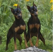 """The Miniature Pinscher (sometimes called the """"King of Toys"""") originated in Germany and was known as a zwergpinscher. Historical artifacts and paintings indicate that the Min Pin is a very old breed, but factual documentation begins less than 200 years ago, which leaves the breed's actual origins open to debate.  The breed's earliest ancestors may have been a mix of Italian greyhounds, dachshunds and the shorthaired German Pinscher."""