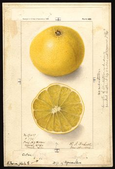 Artist:     Schutt, Ellen Isham, 1873-1955  Scientific name:     Citroncirus webberi  Common name:     citranges  Variety:     Citrange  Geographic / Yearbook of Agriculture (1906)