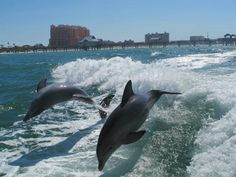 clearwater beach, dolphins