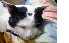 love heart formation on the forehead of a black and white domestic cat Pretty Cats, Beautiful Cats, I Love Cats, Cool Cats, Kittens Cutest, Cats And Kittens, Cat Dog, Here Kitty Kitty, Winged Liner
