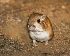 Giant Kangaroo Rat (Dipodomys ingens) is found only in small pockets in central California_USA